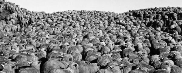 Ovejas. Tierra del Fuego.1990