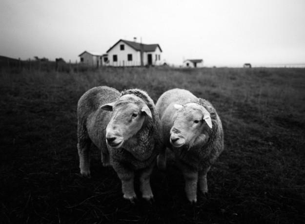 Ovejas. Tierra del Fuego. 1989
